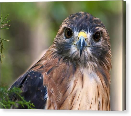 Florida Red Shoulder Hawk  Canvas Print