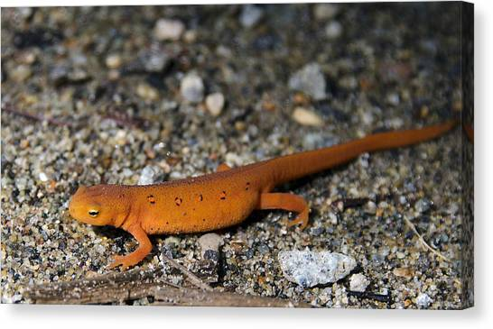 Newts Canvas Print - Red Spotted Newt by Brendan Reals