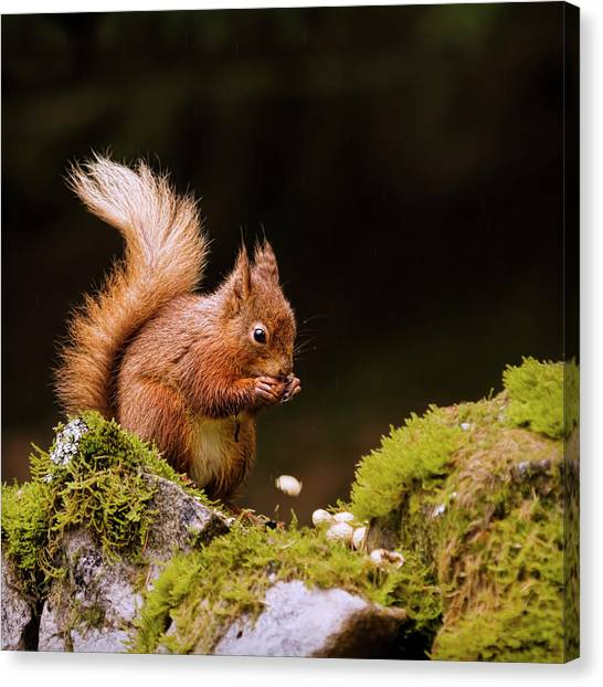 Red Rock Canvas Print - Red Squirrel Eating Nuts by BlackCatPhotos