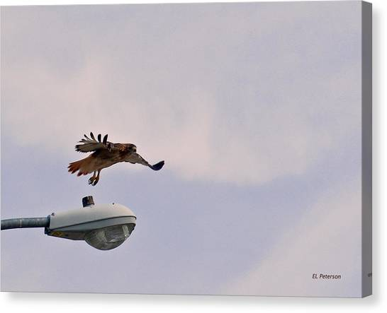 Red-tailed Hawk In Flight Canvas Print