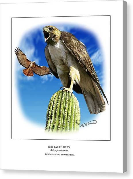Red Tailed Hawk Canvas Print by Owen Bell
