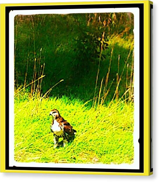 Hawks Canvas Print - Red-tailed Hawk Was Kind Enough To Drop by Mr. B