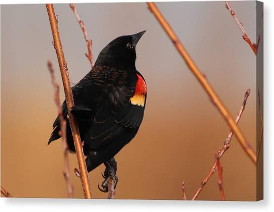 Red Wing Black Bird Canvas Print by DK Hawk