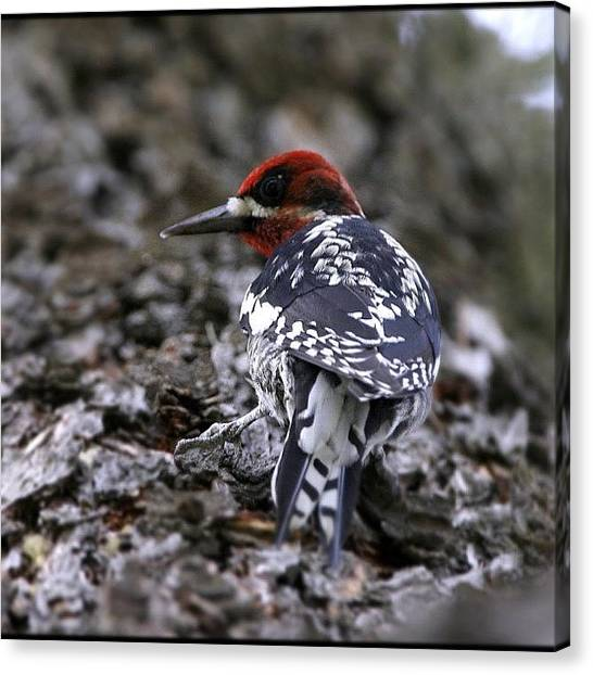 Woodpeckers Canvas Print - #redbreastedsapsucker At by Raul Roa