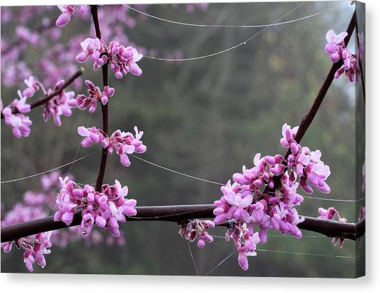 Redbud With Webs And Dew Canvas Print