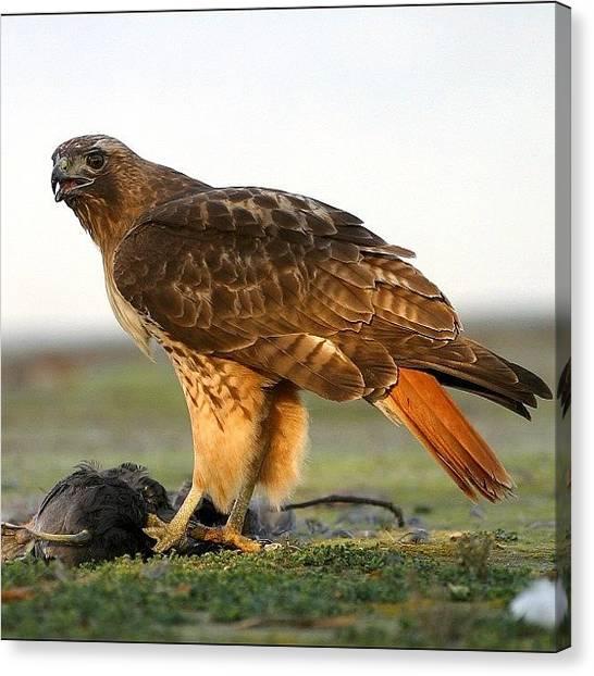 Hunting Canvas Print - #redtailedhawk #birds #birding #raptor by Raul Roa