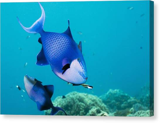 Redtoothed Triggerfish Canvas Print by Georgette Douwma