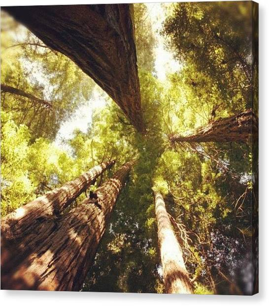 Redwood Forest Canvas Print - #redwood #ca #california by Michael Lynch
