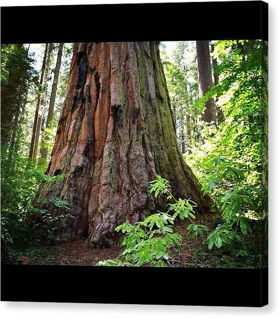 Redwood Forest Canvas Print - #redwood #sierra #usa #california by Marty Gleeson