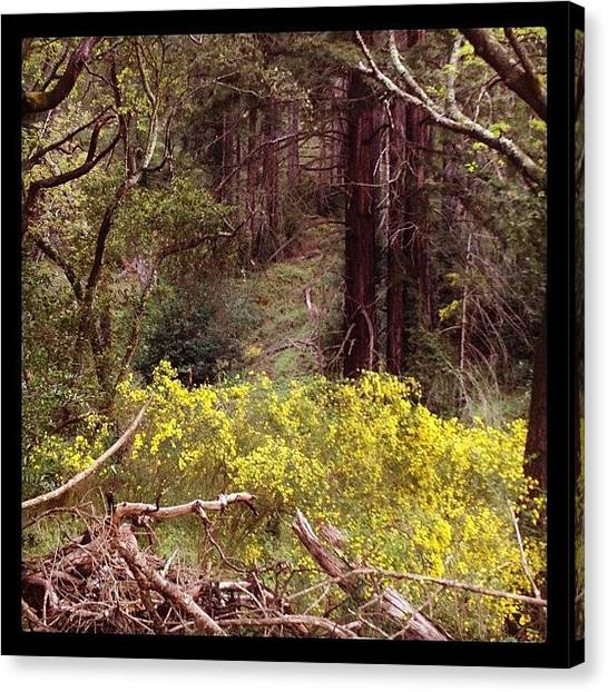 Grove Canvas Print - #redwoods #redwoodgrove #redwood by Caitlin Schmitt