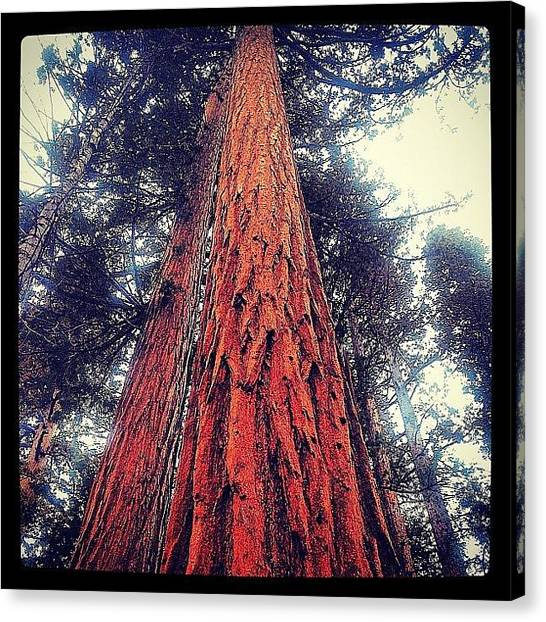 Redwood Forest Canvas Print - #redwoods #trees #nature #california by Rachel Z