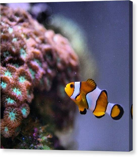 Aquariums Canvas Print - #reeftank  #reef #aquarium #fish by Raz Schweitzer