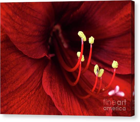 Passionate Canvas Print - Ref Lily by Carlos Caetano