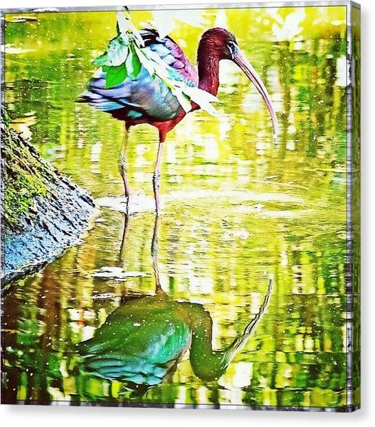 Ibis Canvas Print - Reflecting by Rahman Galela