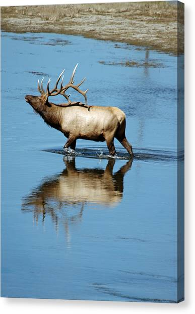 Reflections Of An Elk Canvas Print