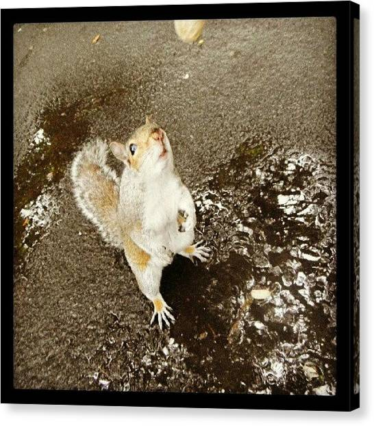 Squirrels Canvas Print - #reflections #puddles #peanuts by Kevin Zoller