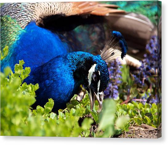 Regal Colors Canvas Print by Christy Woods