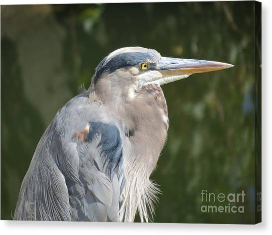 Regal Heron Canvas Print