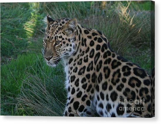 Relaxing Leopard Canvas Print by Carol Wright