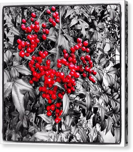 Berries Canvas Print - Repost Of Another One Of My Recent Pics by Seth Stringer