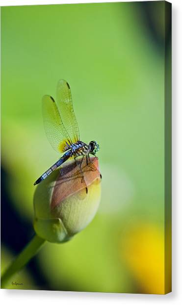 Resting On A Lily Canvas Print