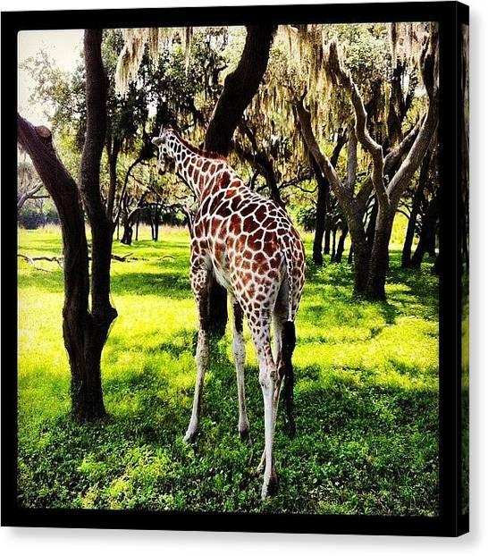 Giraffes Canvas Print - Reticulated Giraffe At Disney's Animal by Arnab Mukherjee
