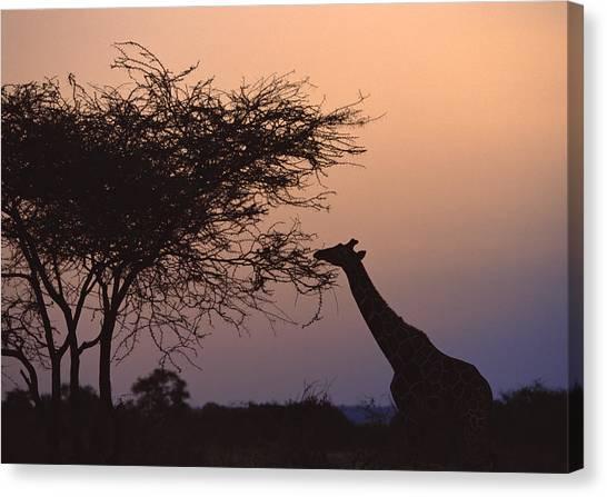 Reticulated Giraffe Canvas Print by Datacraft Co Ltd