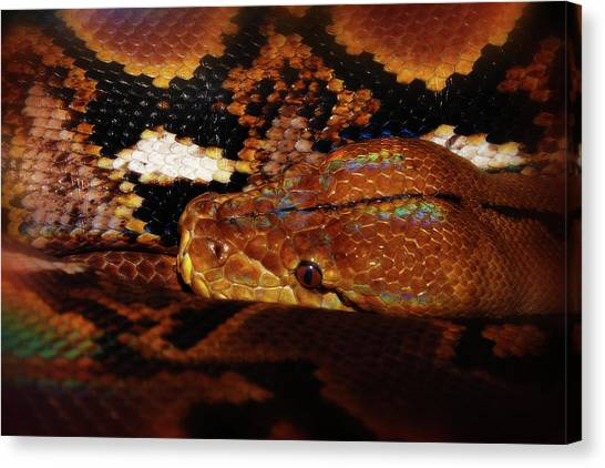 Reticulated Pythons Canvas Print - Reticulated Python by Scott Hovind