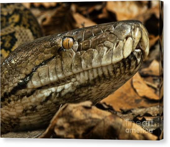 Reticulated Pythons Canvas Print - Reticulated Python by Steev Stamford
