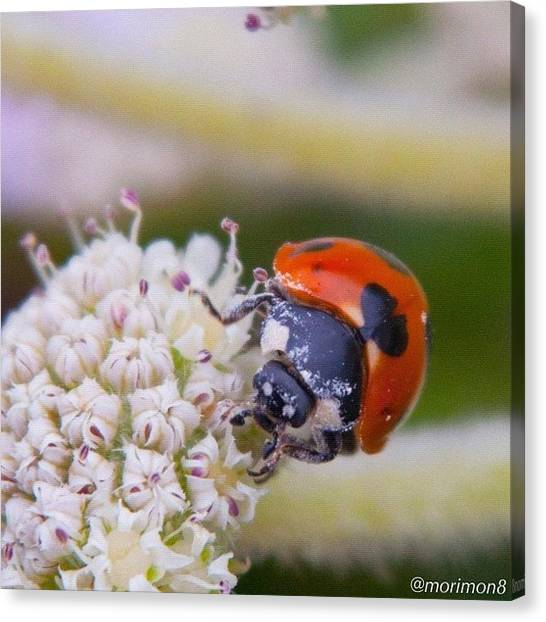 Ladybugs Canvas Print - Rider by Morley🇯🇵♂ もーりー∞♂