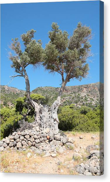 Riven Olive Canvas Print by Paul Cowan