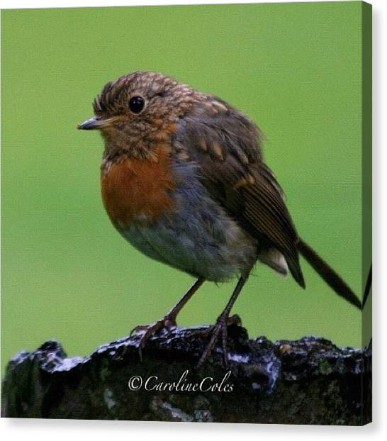 Robins Canvas Print - Robin On His Way To Manhood Last Spring by Caroline Coles