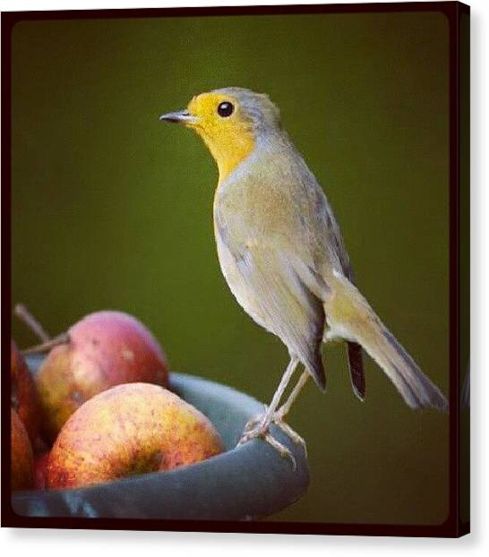 Robins Canvas Print - #robin#bird#bowl#of#fruit#cute by Aaron Eckersley