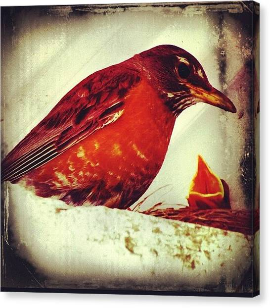 Robins Canvas Print - Robin's Feeding Time by Avril O