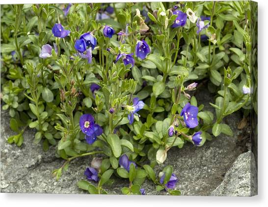 Rock Speedwell (veronica Fruticans) Canvas Print by Bob Gibbons