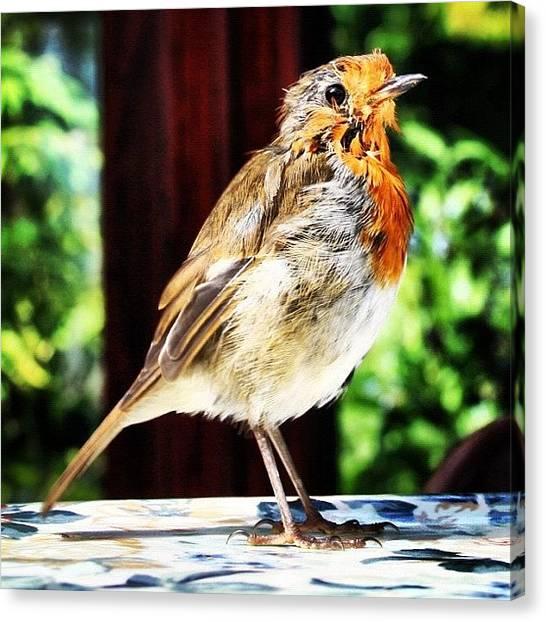 Robins Canvas Print - Rockin Robin #robin #bird #instaanimals by Chris Barber