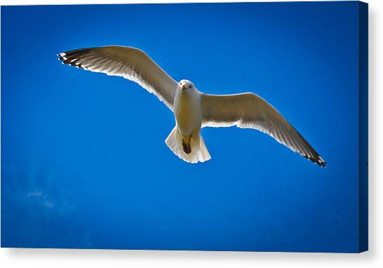 Rockport Gull Canvas Print by Erica McLellan