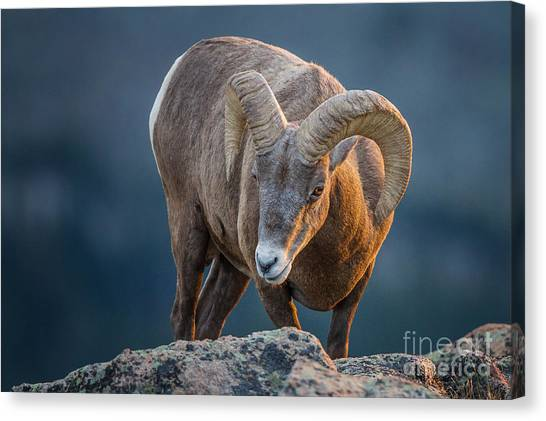 Rocky Mountain Big Horn Ram Canvas Print