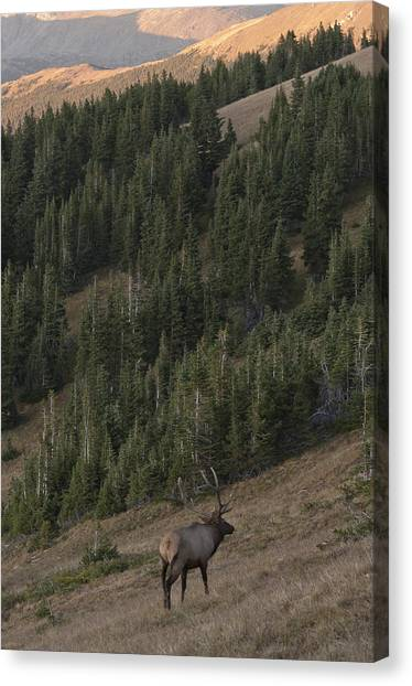 Rocky Mountain Elk Canvas Print