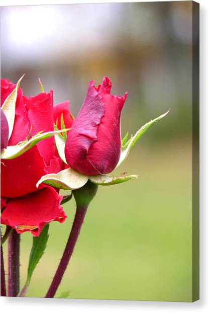 rosa 'Proud Mary' 2964 Canvas Print