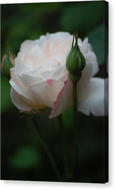 Rose - White Canvas Print by Dickon Thompson