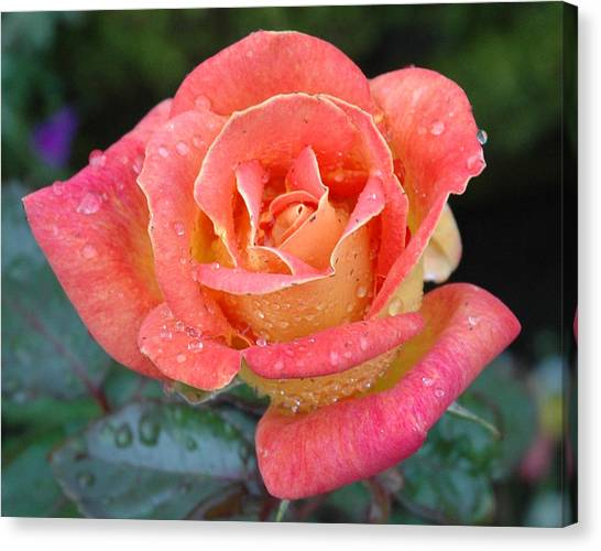 Rose Dew II Canvas Print by George Crawford