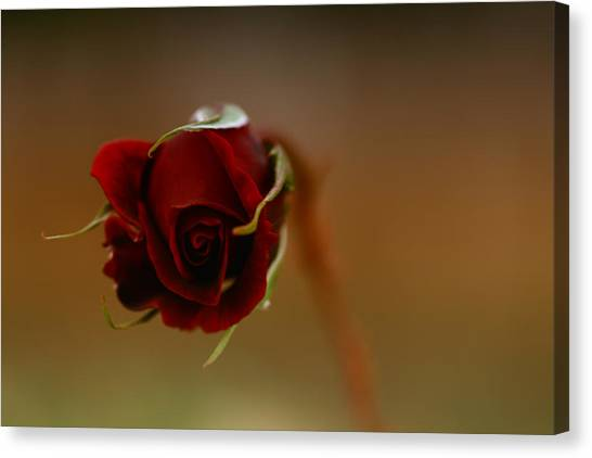 Rose Dream Canvas Print by Gabriel Calahorra