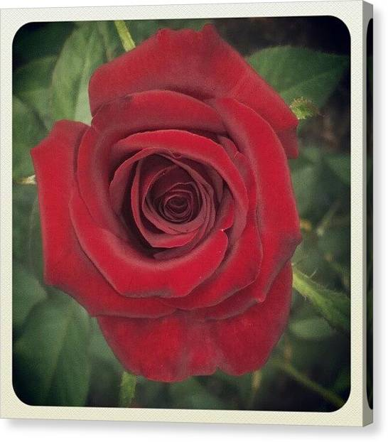 Droid Canvas Print - #rose #flower #red #july #lovely by Alberto Chavez
