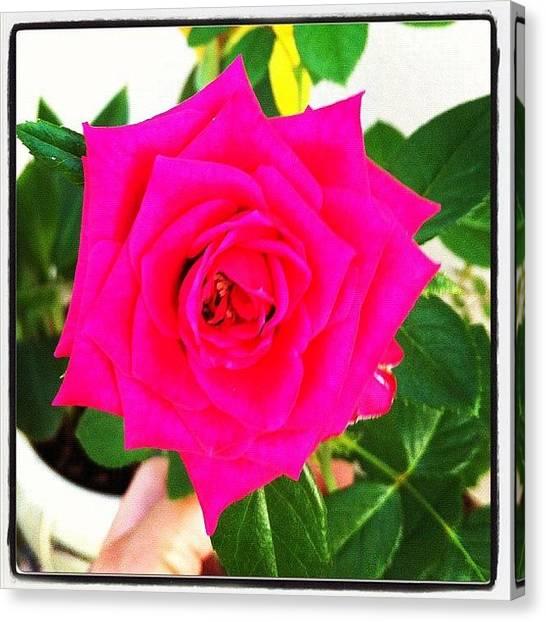 Baby Canvas Print - #rose #flowers #flower #flowerflower by Amber Baby