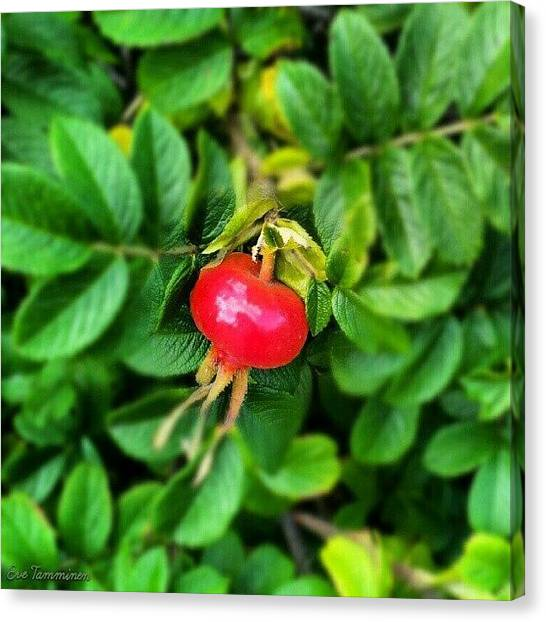 Hips Canvas Print - Rose Hip by Eve Tamminen