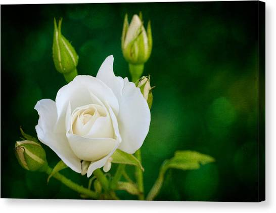 Rose I Canvas Print