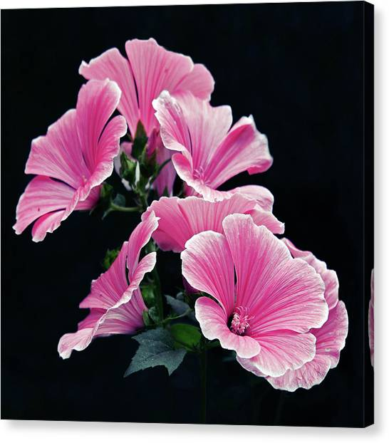 Rose Mallow Canvas Print by Tanjica Perovic Photography