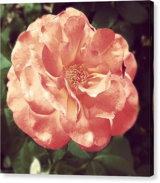 Georgia Canvas Print - #rose #martinlutherking Center #atlanta by Harvey Christian