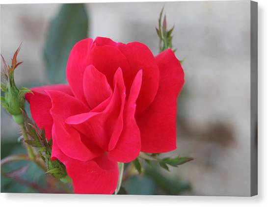 Rose Mount Canvas Print by Bret Worrell
